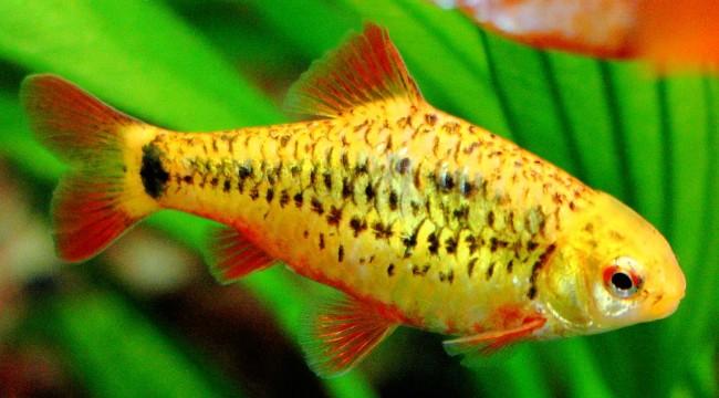 У барбуса Шуберта характерная желто-черная окраска.