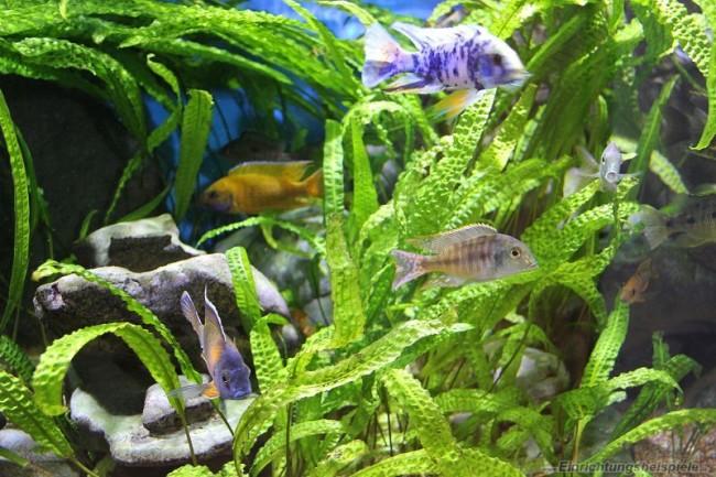 Рыбкам нравится криптокорина апоногетонолистная в качестве соседки.