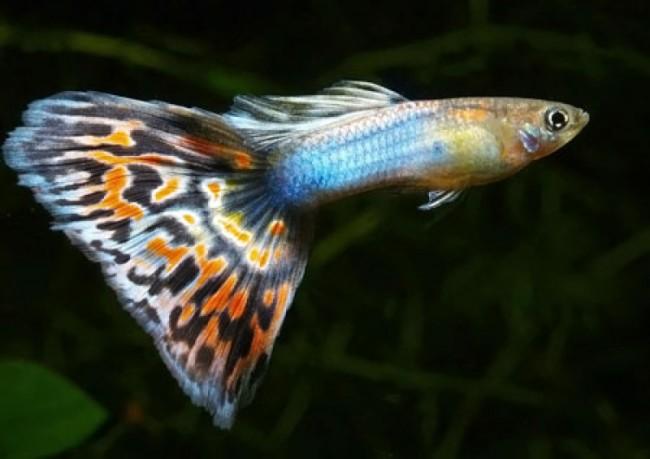 Гуппи, пожалуй, самая популярная рыбка среди аквариумистов.