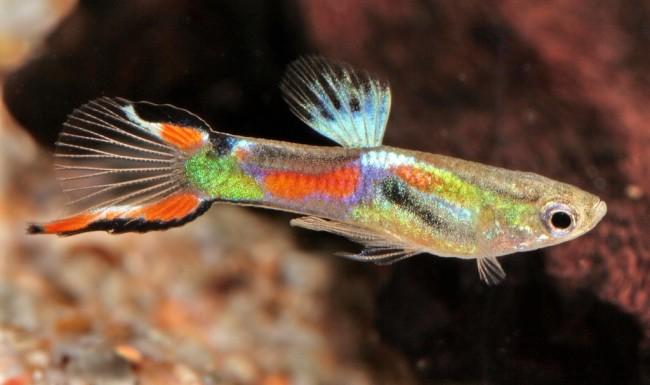 аквариумные рыбки фото и название