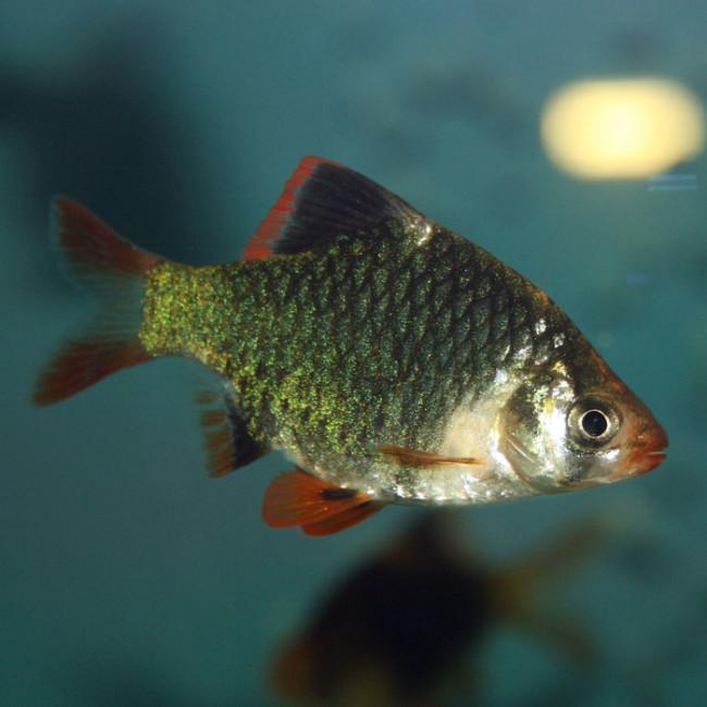 Мутировавший барбус - популярная ныне аквариумная рыбка.