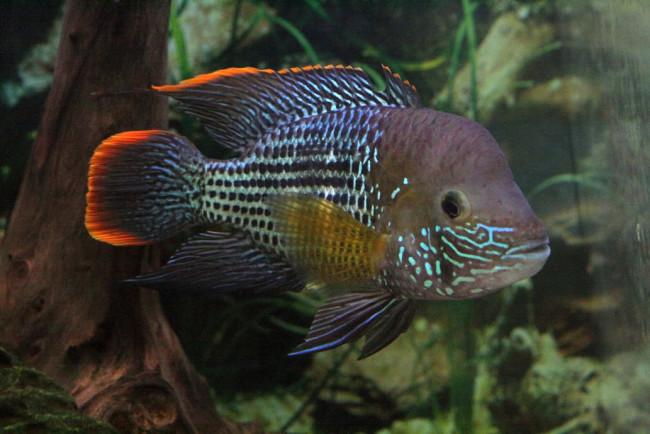Трепетная рыбка.