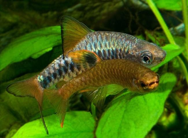 Самец и самка олиголепсис.