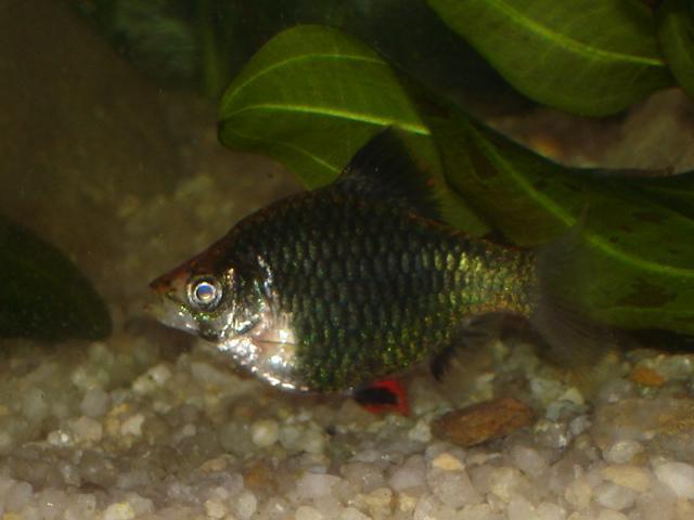 Зеленый мшистый барбус на дне аквариума.