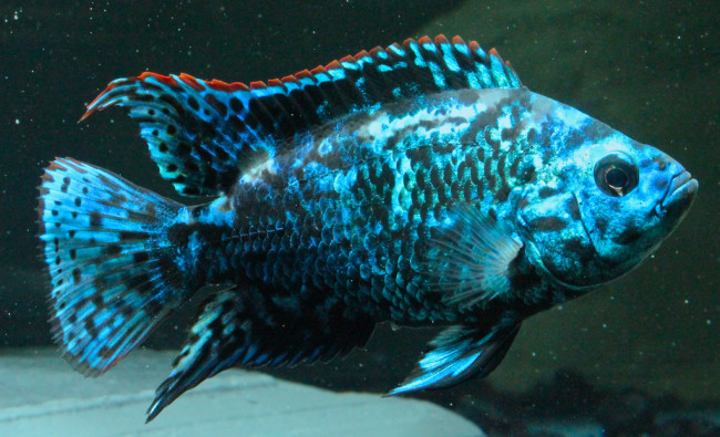 Electric Blue Dempsey.