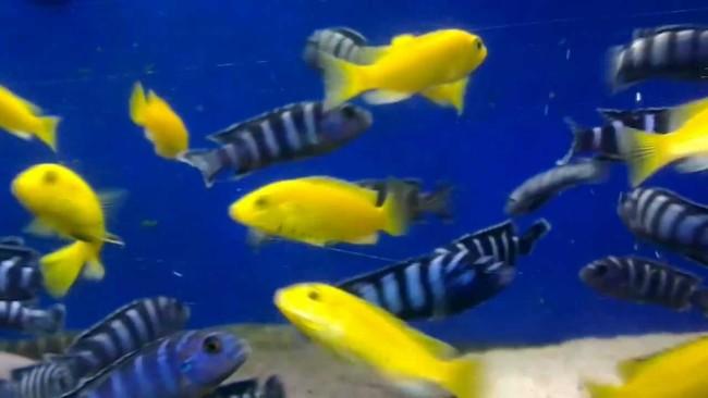 Демасони и яркие желтые рыбки.