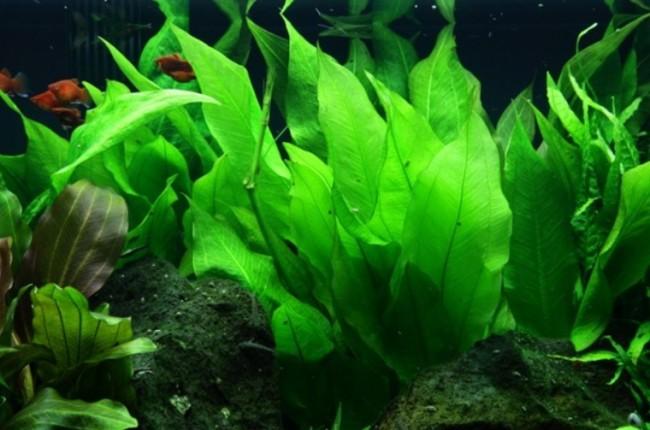 Ярко зеленый Эхинодорус Блехера