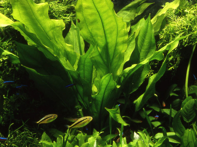 Эхинодорус Блехера и рыбки отлично совместимы в аквариуме.