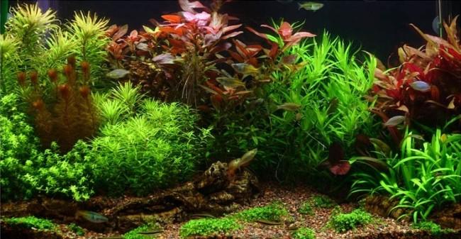 Гигрофила с другими водорослями.