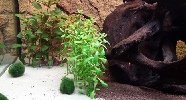 Гигрофила в аквариуме.