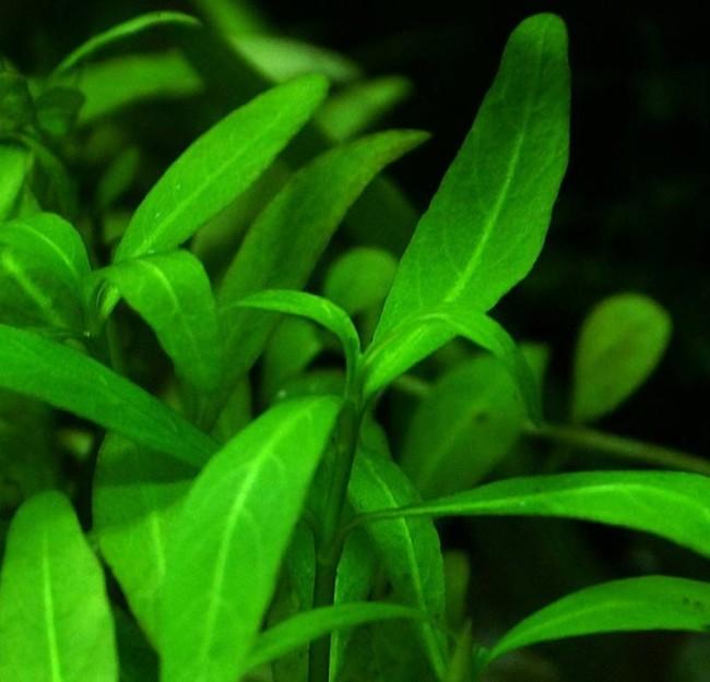 Длинностебельное декоративное растение.