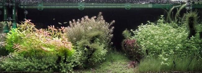 Гигрофила с другими растениями.