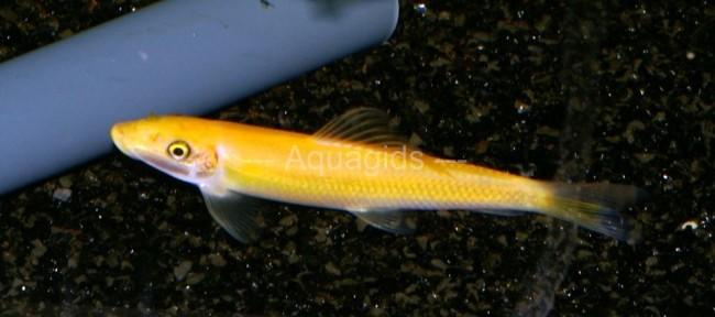 Юркая желтая рыбка - это гиринохейлус.