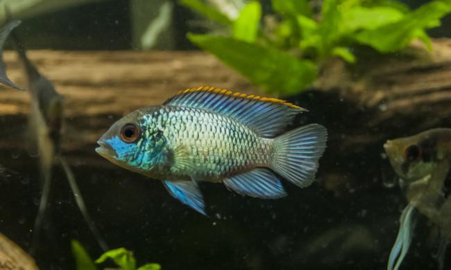 Голубая акара в аквариуме.