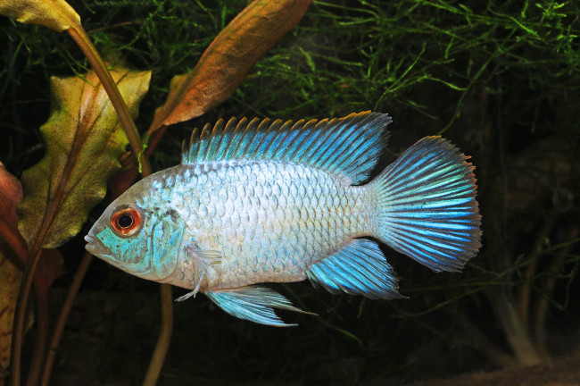 Рыбка с красивым голубым окрасом.