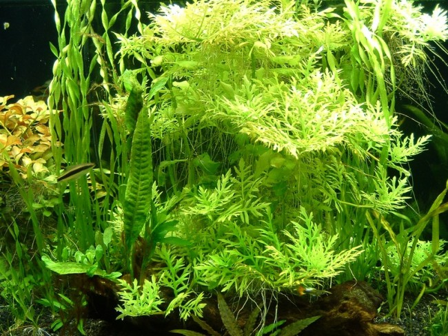 Деморфная гигрофила растет в аквариуме.