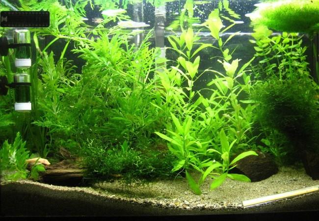 Размещение гигрофил изменчивых в аквариуме.
