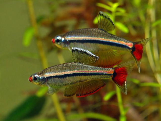 Небольшие бойцовые рыбки петушки.