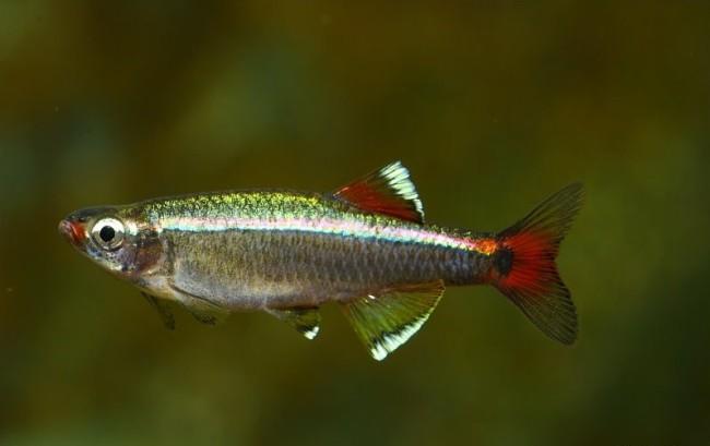 Рыбка класса лучепёрые.