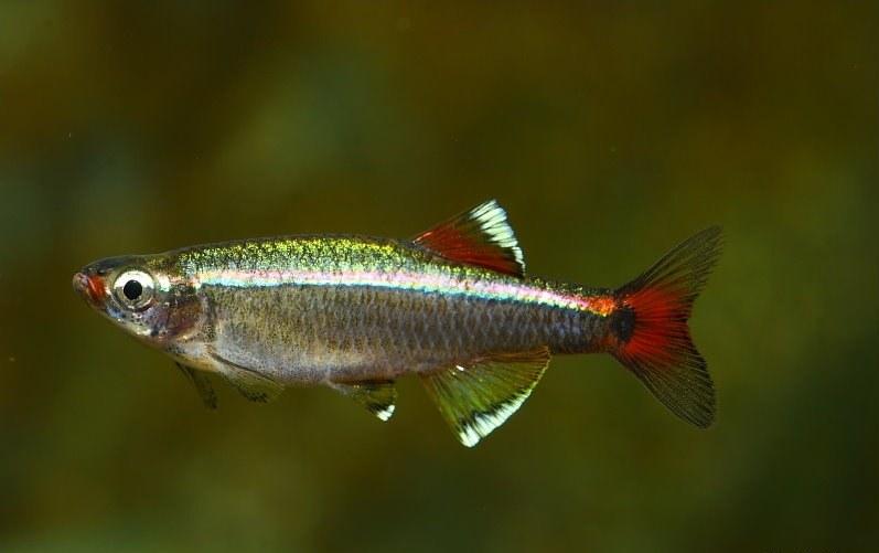 фото рыба кардинал