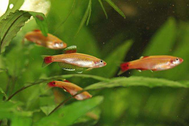 Tanichthys albonubes в аквариуме.