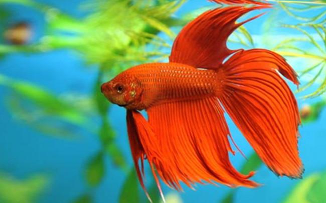Бойцовского петушка тоже можно содержать в небольшом аквариуме.