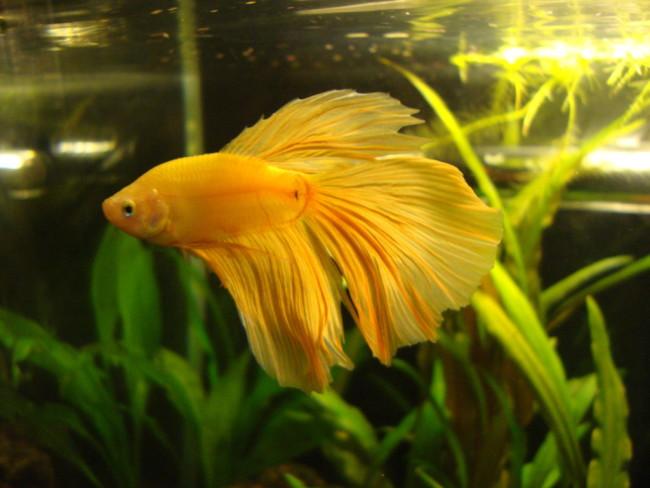 Желтая рыбка петушок.