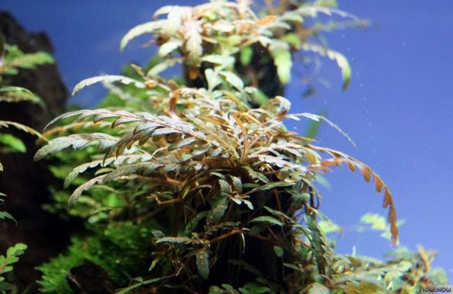 Аквариумное растение гигрофила пиннатифида.