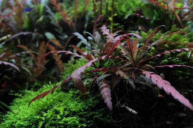 Красивое растение гигрофила пиннатифида.