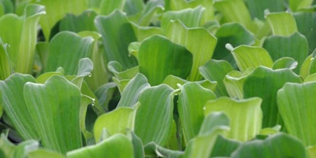 Аквариумное растение пистия.