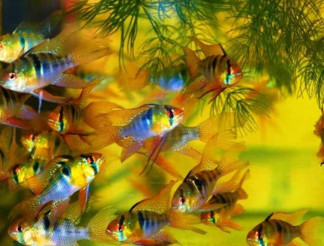 Стайка маленьких вуалевых бабочек рамиреса.