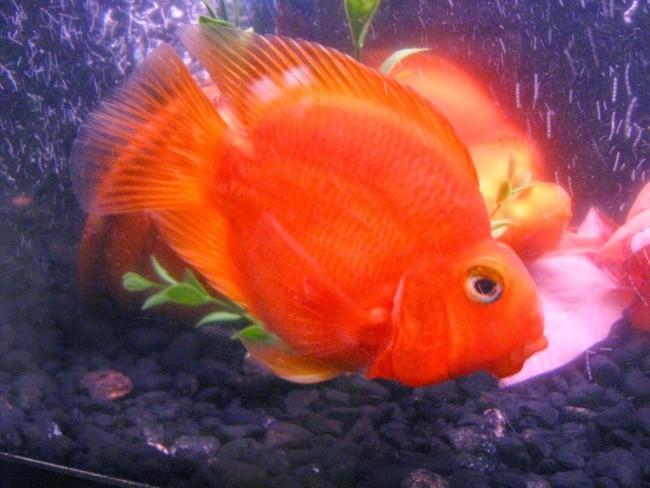 Красный попугай плавает.