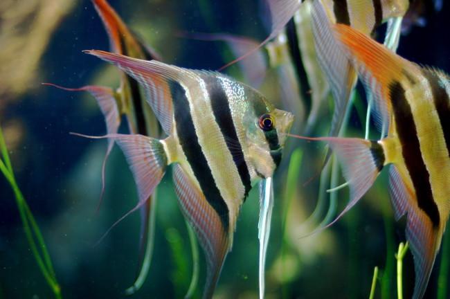 Angelfishes.