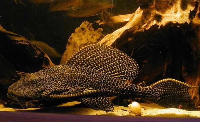Glyptoperichthys gibbiceps.
