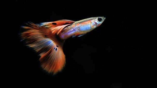 Яркая и касивая рыбка гуппи.