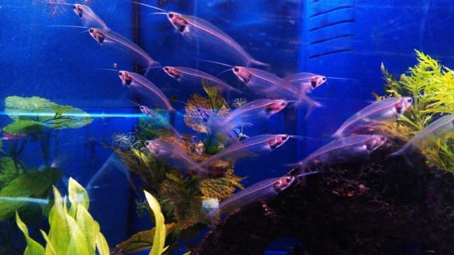 Стайка прозрачных сомиков в аквариуме.