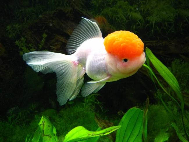 Золотая рыбка с оригинальной шапочкой.