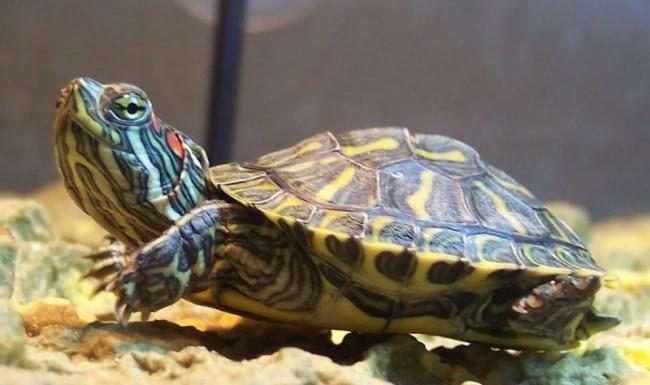 Обустраиваем аквариум для красноухой черепахи своими руками 17