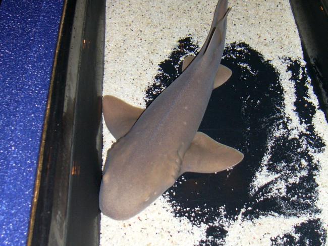 Мини акула нянька.