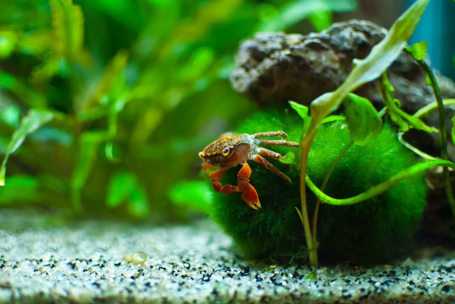 Red claw crab.