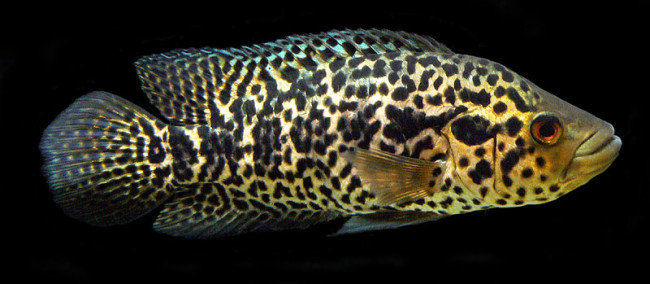 Jaguar Cichlid.