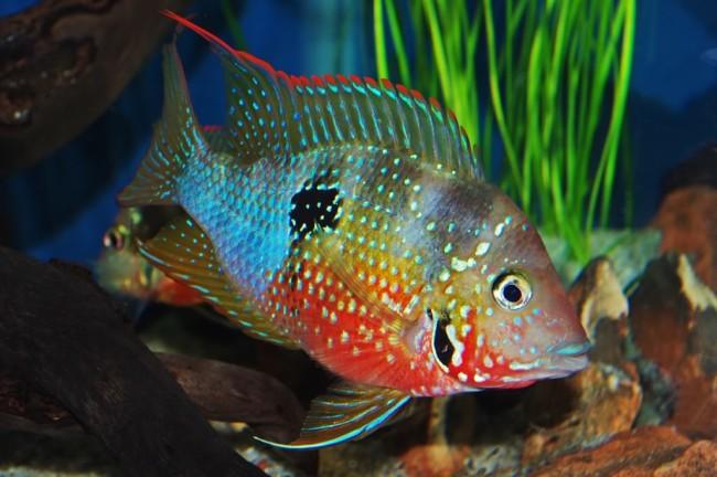 Красивейшая рыба семейства Цихловые.