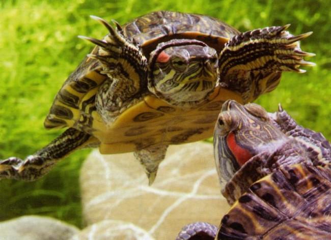 Для красноухих черепах характерен брачный танец.