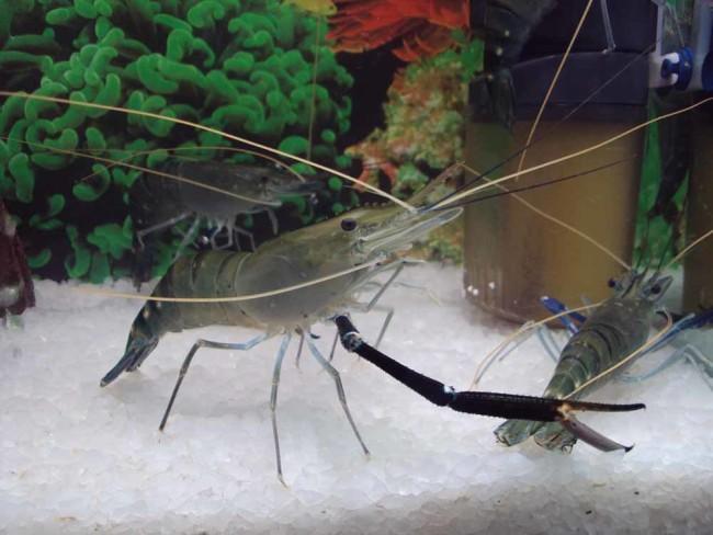 Freshwater prawn macrobrachium rosenbergii.