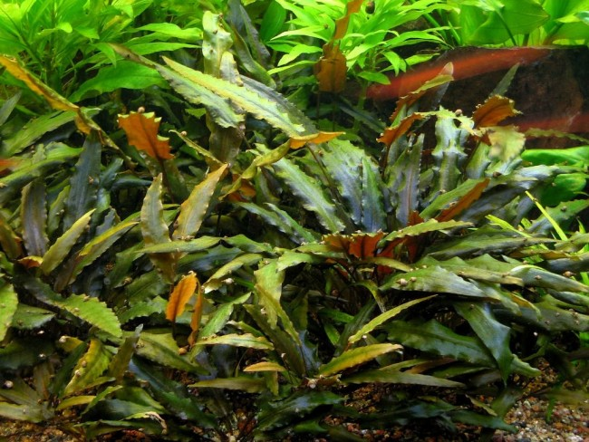 Cryptocoryne wendtii brown.