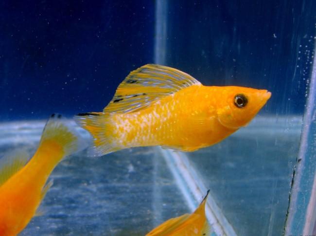 Взрослые рыбки моллинезии.
