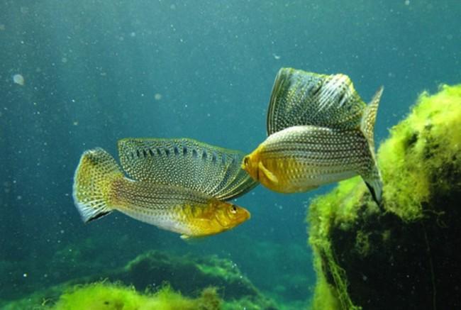 Живородящие рыбки оранжевые моллинезии.