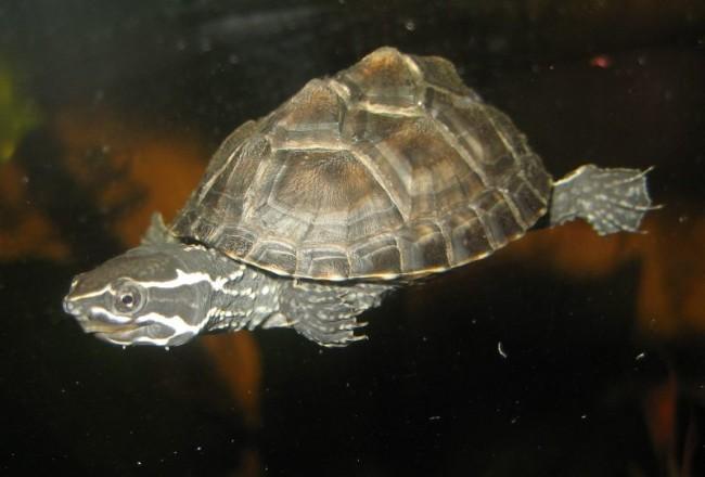 Tartaruga del muschio.
