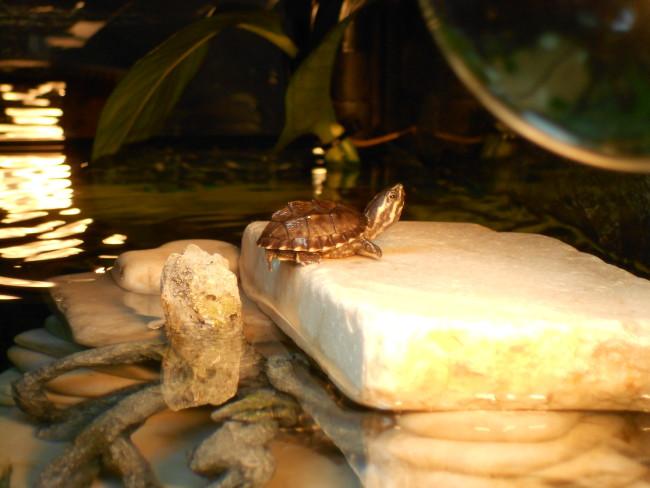 Eastern musk turtle.