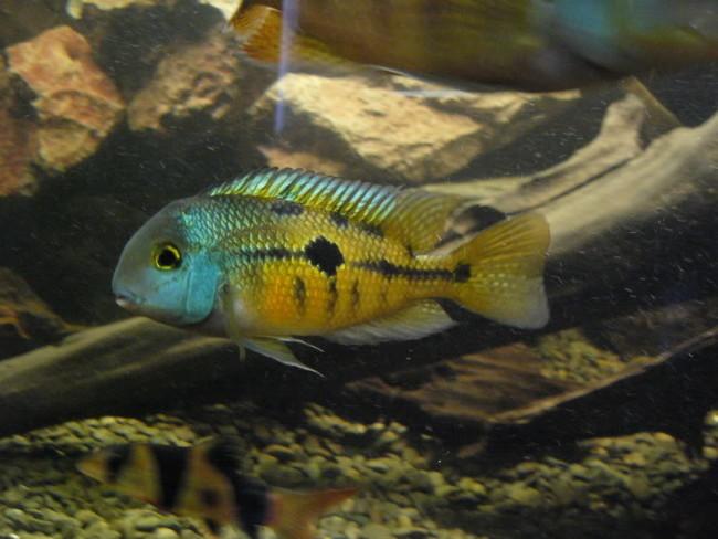 Никарагуанская цихлазома в аквариуме.